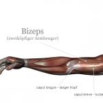 Bizeps Anatomie Grafik