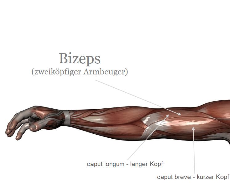 Der Bizeps - Zweiköpfiger Oberarmbeuger - Musculus Biceps Brachii