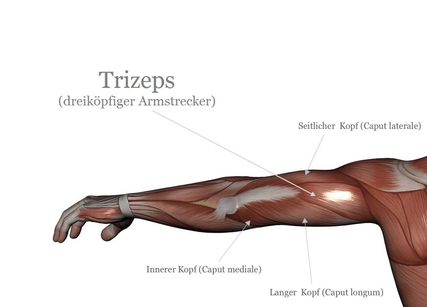 Der Trizeps - Dreiköpfiger Oberarmstrecker - Musculus Triceps Brachii