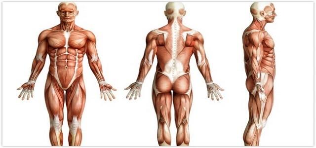muskelaufbautraining_muskelgruppen