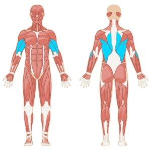 Klimmzuege Muskelgruppen