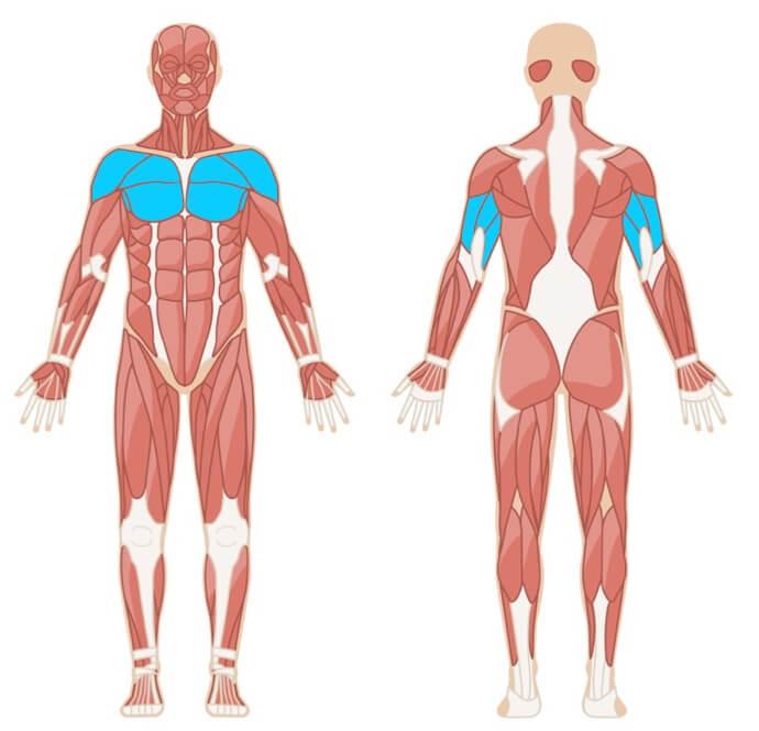 Liegestütze Muskelgruppen