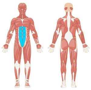 Plank Muskelgruppen