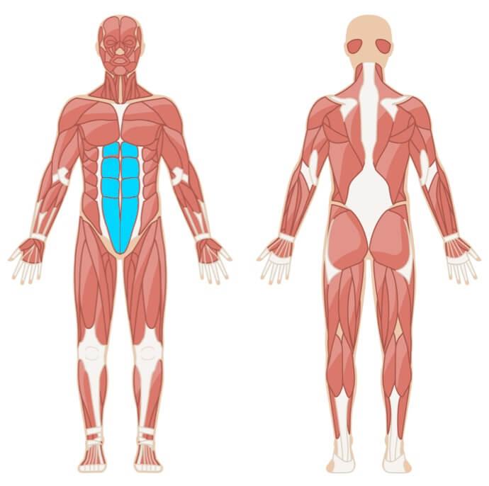 klassischer Unterarmstütz (Plank) Muskelgruppen