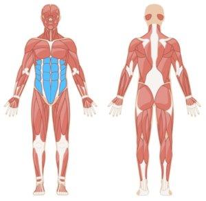 Crunches Muskelgruppen